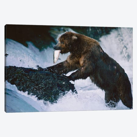 A Grizzly Bear Fishes For Salmon At Brooks Falls In Alaska' Katmai National Park Canvas Print #SRR96} by Joel Sartore Canvas Art Print