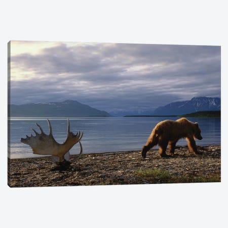 A Grizzly Bear Walks Past A Set Of Moose Antlers At Katmai's Naknek Lake Canvas Print #SRR98} by Joel Sartore Canvas Artwork