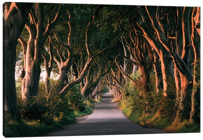 Nature's Lingerie - Dark Hedges Canvas Art Print
