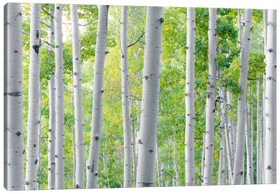 Aspen Canvas Art Print