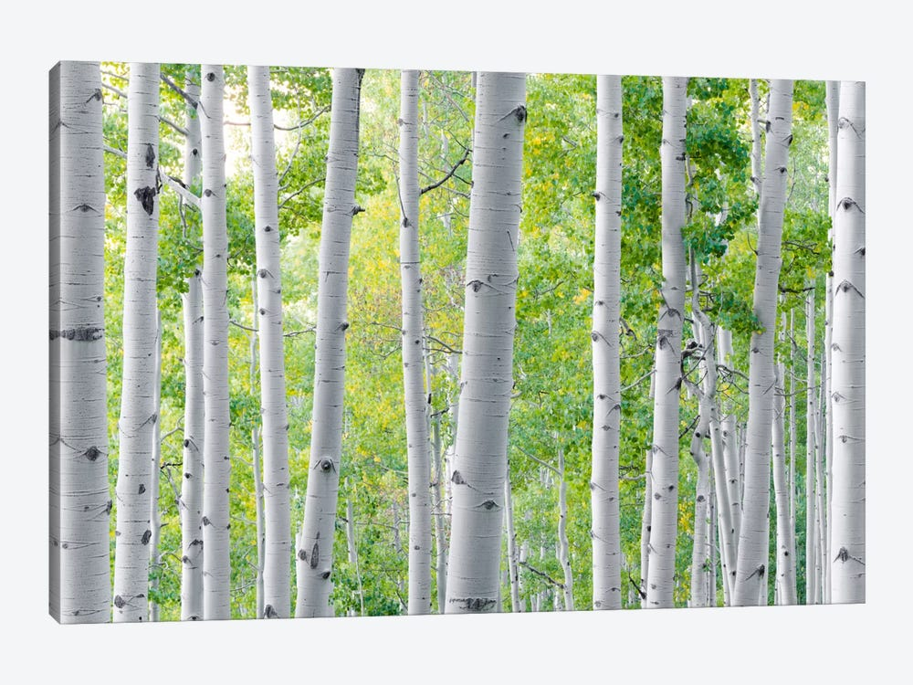 Aspen by Stefan Hefele 1-piece Art Print