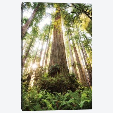 Redwood Forest Canvas Print #STF137} by Stefan Hefele Canvas Art Print