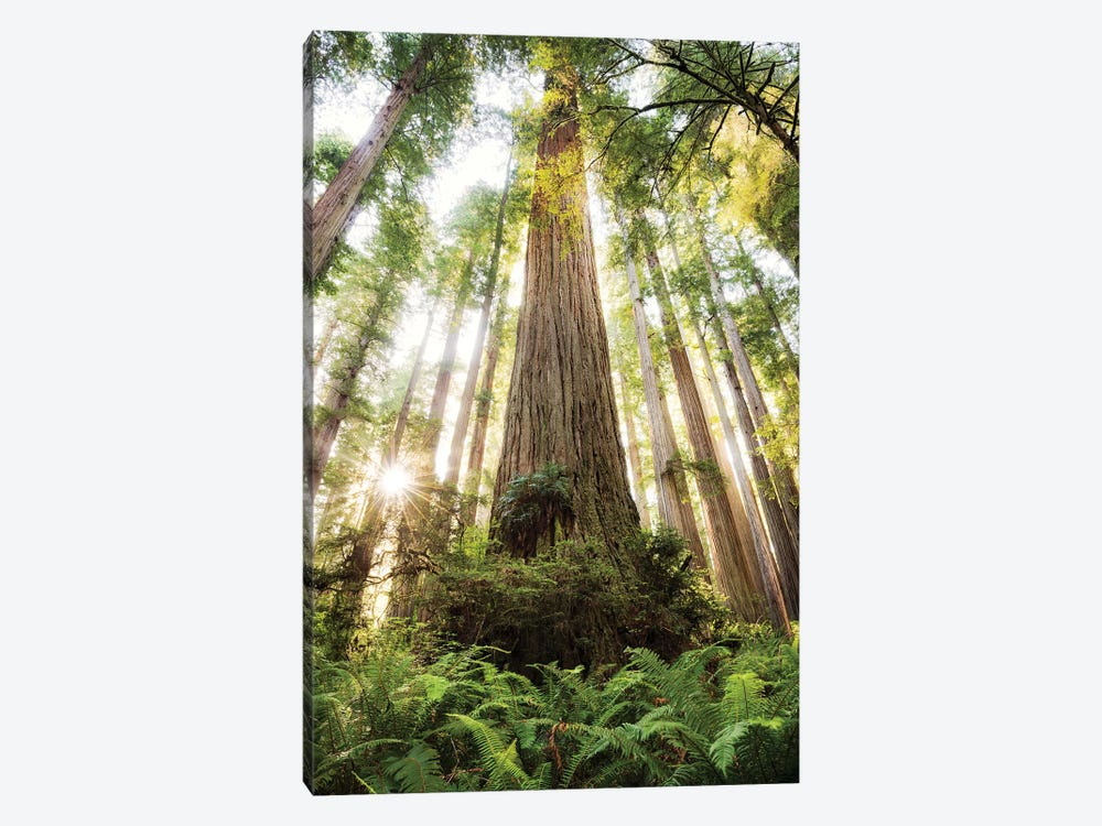 Redwood Forest by Stefan Hefele 1-piece Canvas Art
