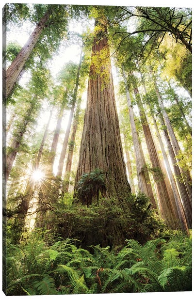Redwood Forest Canvas Art Print