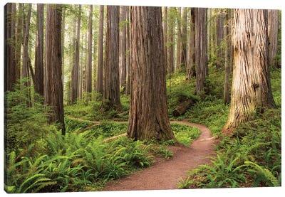 Redwood Trail Canvas Art Print