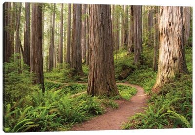 Redwood Trail Canvas Art Print