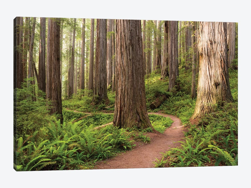 Redwood Trail by Stefan Hefele 1-piece Canvas Art Print