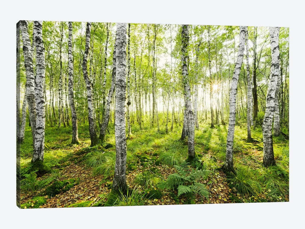 Birch Forest I by Stefan Hefele 1-piece Canvas Wall Art