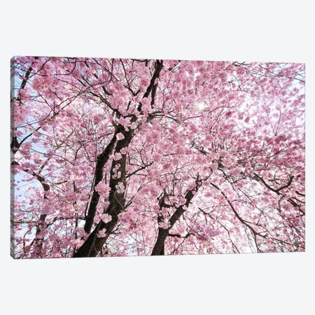 Cherry Blossom Canvas Print #STF27} by Stefan Hefele Canvas Wall Art