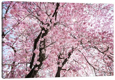Cherry Blossom Canvas Art Print