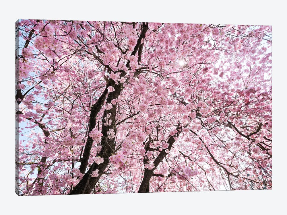 Cherry blossom canvas print by stefan hefele icanvas for Canvas painting of cherry blossoms