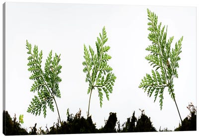 Fern Trio I Canvas Art Print