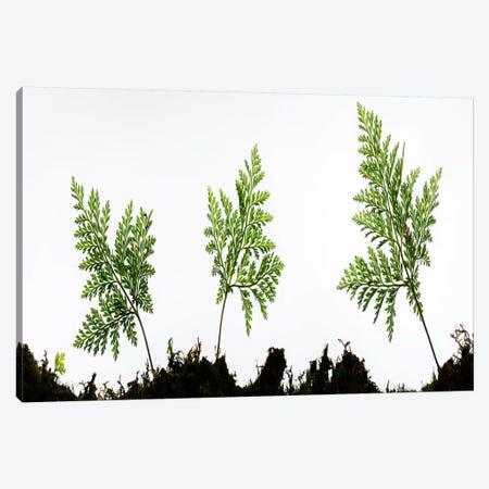 Fern Trio I Canvas Print #STF56} by Stefan Hefele Canvas Print