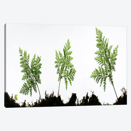 Fern Trio I Canvas Print #STF56} by Stefan Hefele Canvas Print