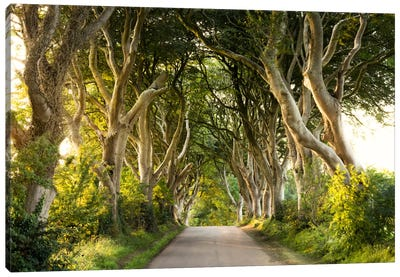 Golden Avenue, Dark Hedges Canvas Art Print