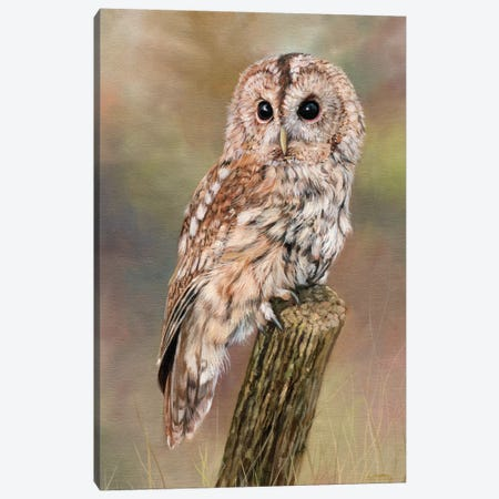 Tawny Owl Canvas Print #STG102} by David Stribbling Canvas Artwork