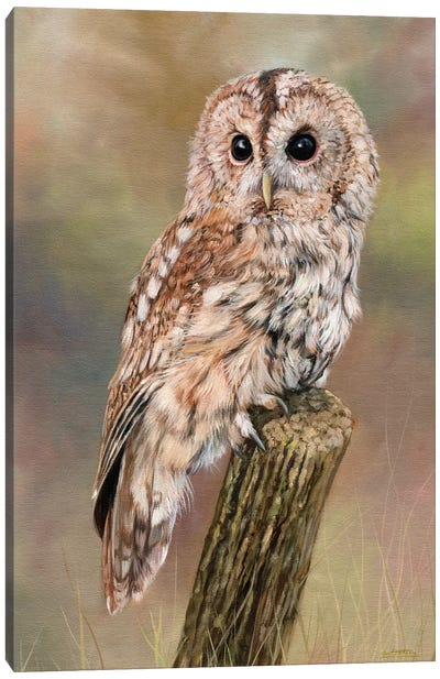 Tawny Owl by David Stribbling Canvas Art Print