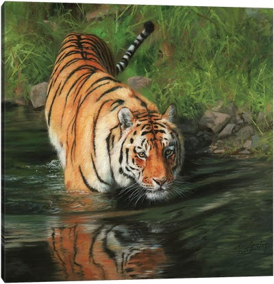 Tiger Entering River by David Stribbling Canvas Art Print