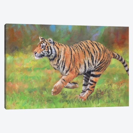 Tiger Running Canvas Print #STG115} by David Stribbling Canvas Wall Art