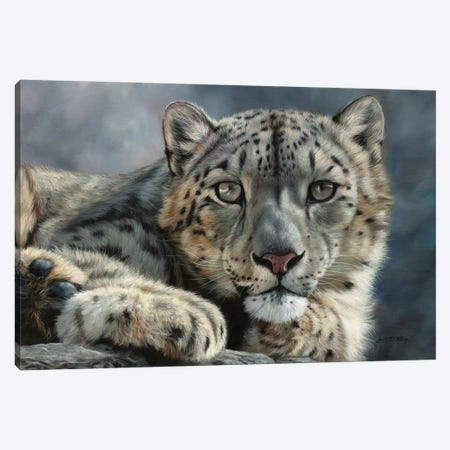 Snow Leopard Portrait Canvas Print #STG120} by David Stribbling Canvas Artwork