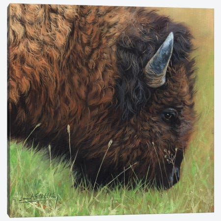 Bison Grazing Canvas Print #STG122} by David Stribbling Canvas Art