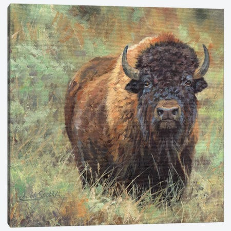 Bison II Canvas Print #STG13} by David Stribbling Canvas Art Print