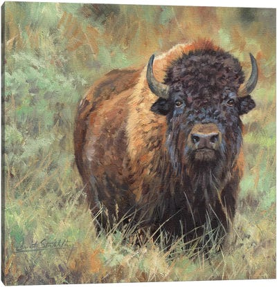 Bison II by David Stribbling Canvas Art Print