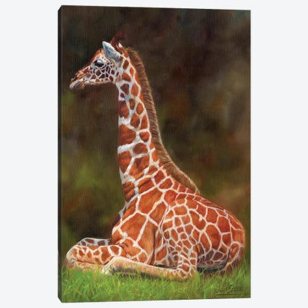 Giraffe Resting Canvas Print #STG147} by David Stribbling Canvas Art Print