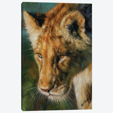 Young Lion Canvas Print #STG181} by David Stribbling Canvas Artwork