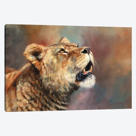 Lioness Porait III Canvas Print #STG194} by David Stribbling Canvas Art