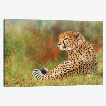 Cheetah II Canvas Print #STG20} by David Stribbling Canvas Art