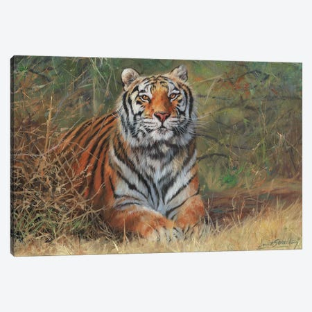 Tiger In Bush Canvas Print #STG212} by David Stribbling Canvas Artwork
