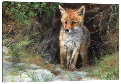Young Red Fox by David Stribbling Canvas Art Print