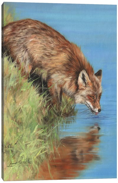 Fox Drinking At River Canvas Art Print
