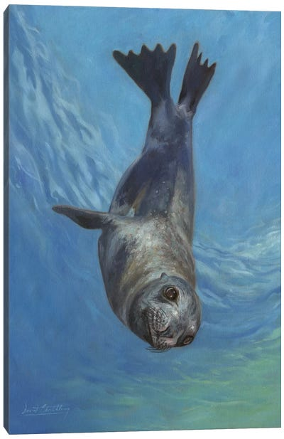 Sea Lion, Sea Of Cortez by David Stribbling Canvas Art Print