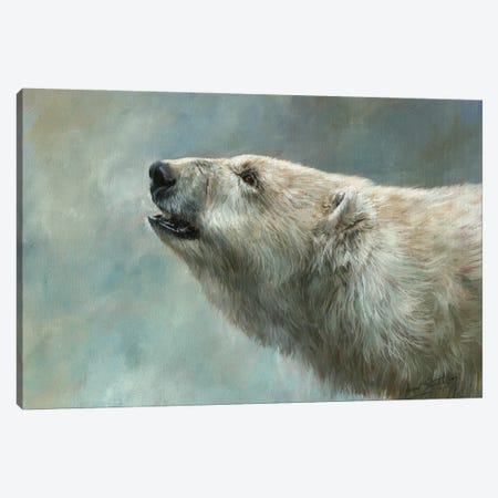 Polar Bear Study Canvas Print #STG248} by David Stribbling Art Print