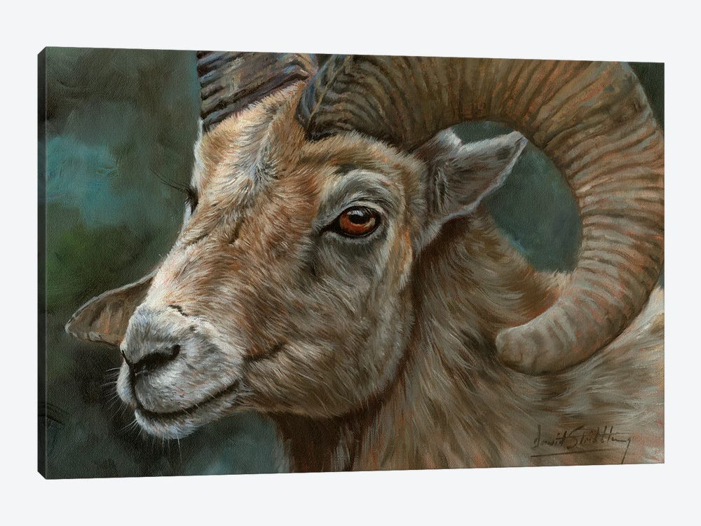 Portrait Of A Bighorn Sheep by David Stribbling 1-piece Canvas Print