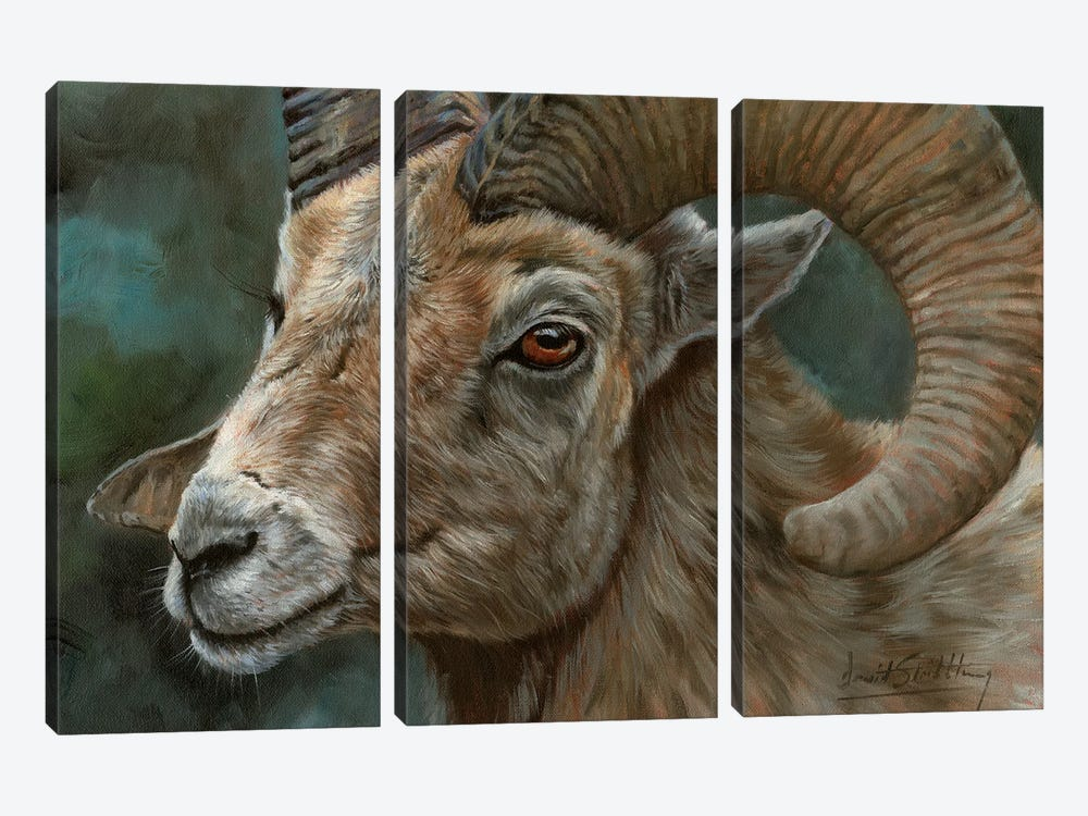 Portrait Of A Bighorn Sheep by David Stribbling 3-piece Canvas Print