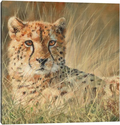 Cheetah Laying In Long Grass by David Stribbling Canvas Art Print