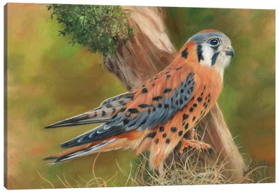 American Kestrel Canvas Art Print