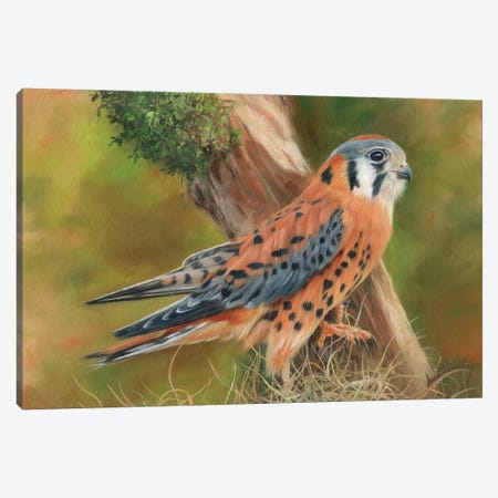 American Kestrel 3-Piece Canvas #STG3} by David Stribbling Canvas Art Print