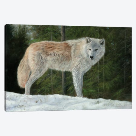 Grey Wolf In Snow Canvas Print #STG42} by David Stribbling Canvas Wall Art