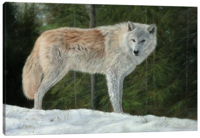 Grey Wolf In Snow Canvas Art Print