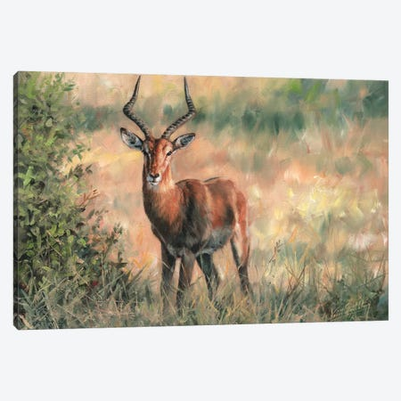 Impala Canvas Print #STG44} by David Stribbling Canvas Print