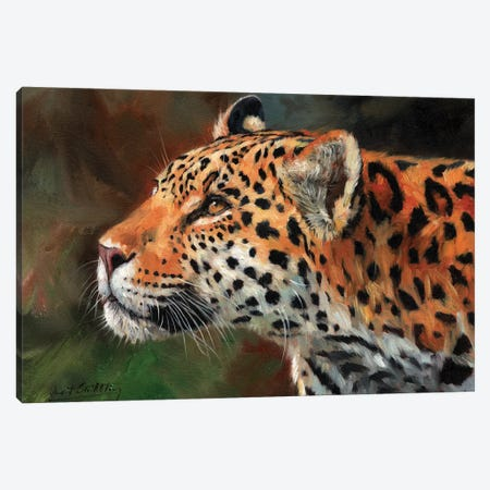 Jaguar Look Canvas Print #STG50} by David Stribbling Canvas Print