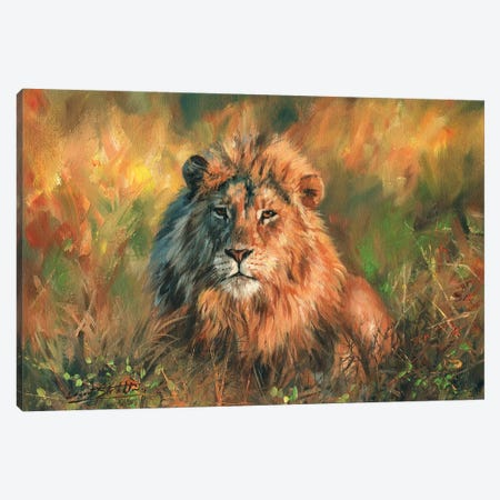 Lion At Sunset Canvas Print #STG59} by David Stribbling Canvas Art Print