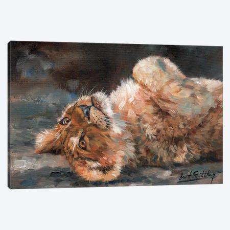 Lion Cub On Back Canvas Print #STG61} by David Stribbling Canvas Art