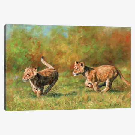 Lion Cubs Running Canvas Print #STG63} by David Stribbling Canvas Artwork