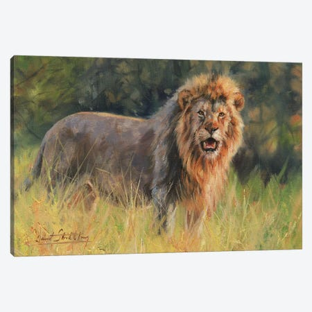 Lion Evening Light Canvas Print #STG64} by David Stribbling Canvas Art Print