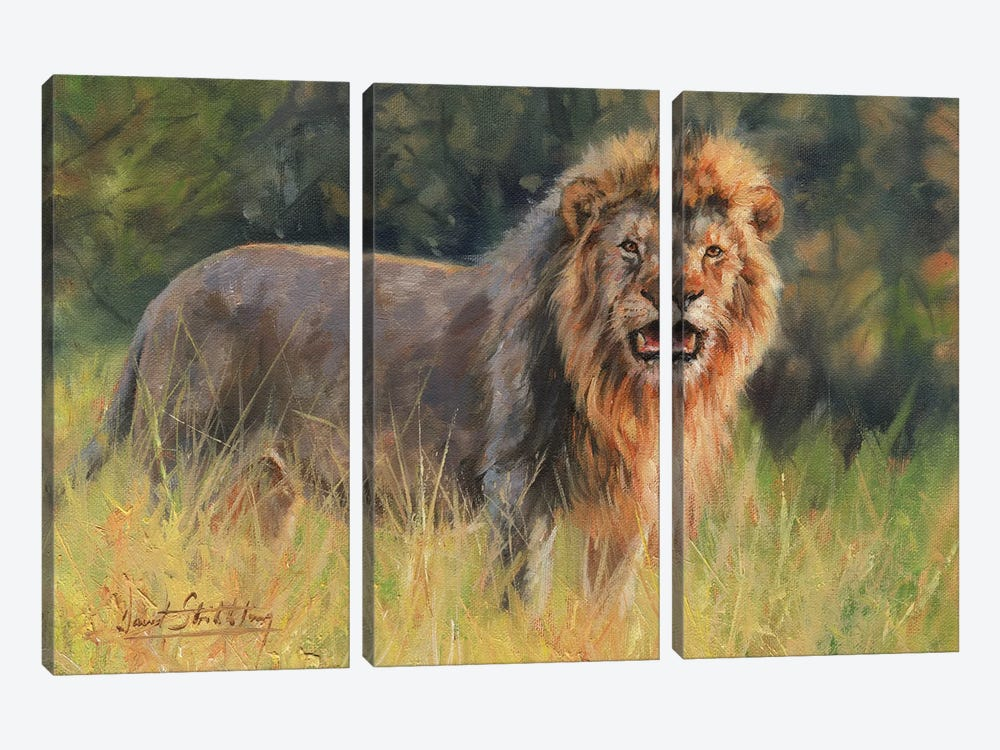 Lion Evening Light by David Stribbling 3-piece Canvas Print